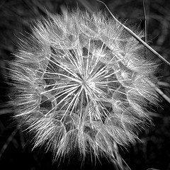 Dandelion niche brand via light_seeker